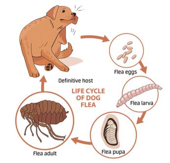 Fleas Fleas Fleas Mccleary Animal Hospital